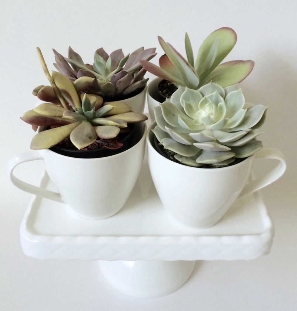 kraftmint_cupofsucculents_fourcups_2
