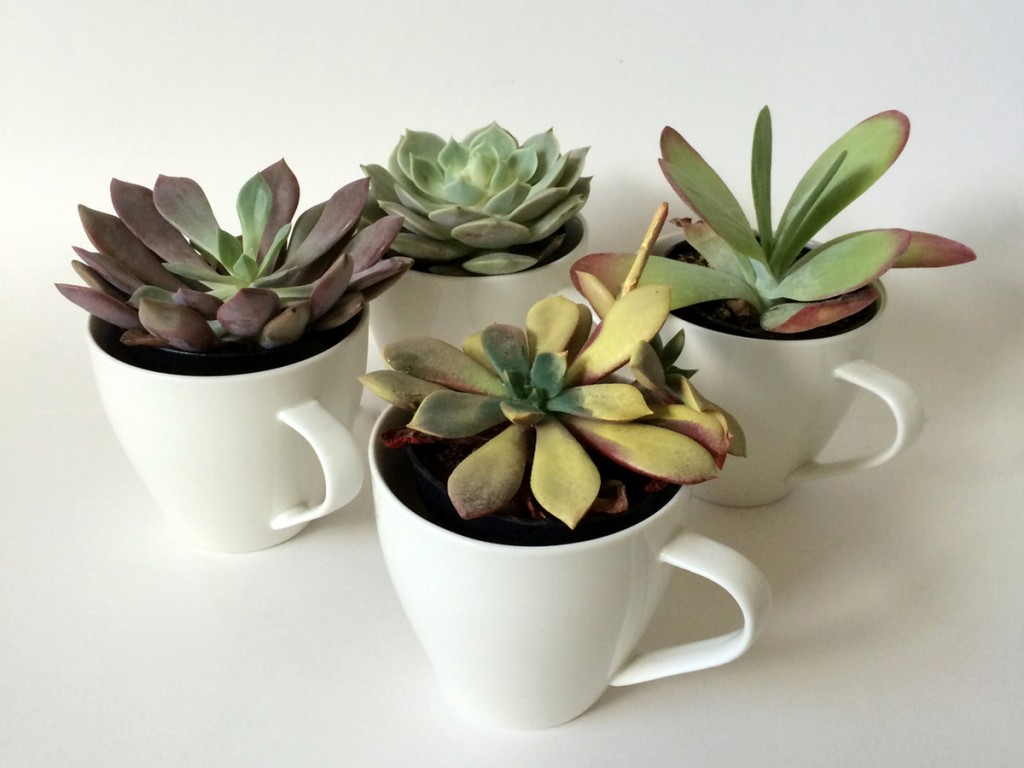 kraftmint_cupofsucculents_fourcups_3